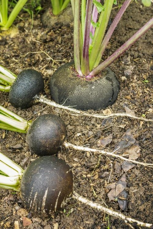 Growing-Spanish-Black-Radishes-in-Pots-5