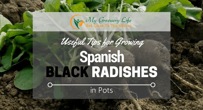 Growing-Spanish-Black-Radishes-in-Pots
