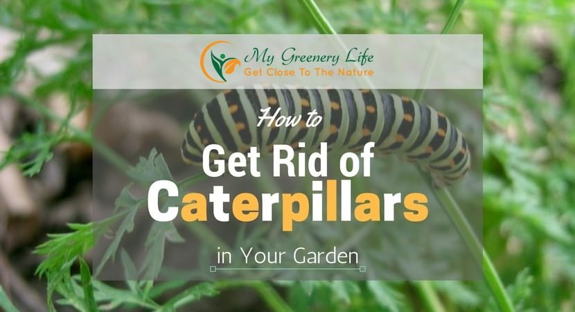 How-to-Get-Rid-of-Caterpillars-1
