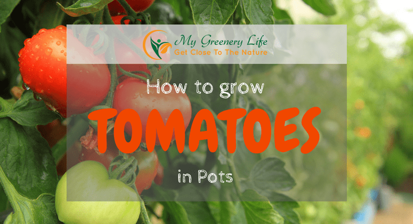 How-to-grow-tomatoes-in-pots
