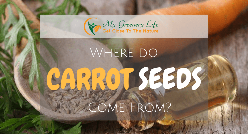 Where-do-carrot-seeds-come-from-1