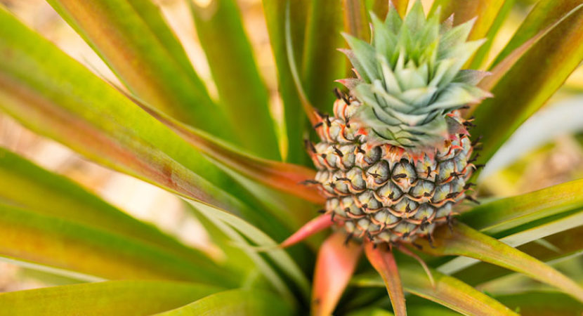 growing-pineapple-plants-01