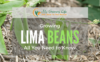 Growing-lima-beans-1