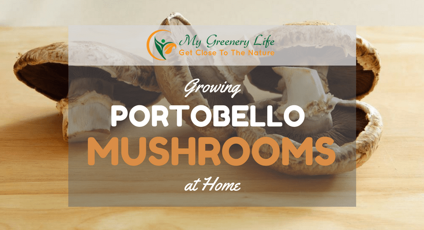 Growing-portobello-mushrooms-at-home-pic