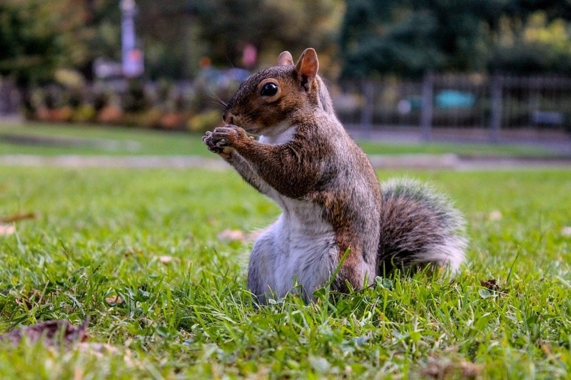 How-to-Get-Rid-of-Ground-Squirrels-4