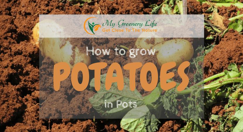 How-to-Grow-potatoes-in-pots