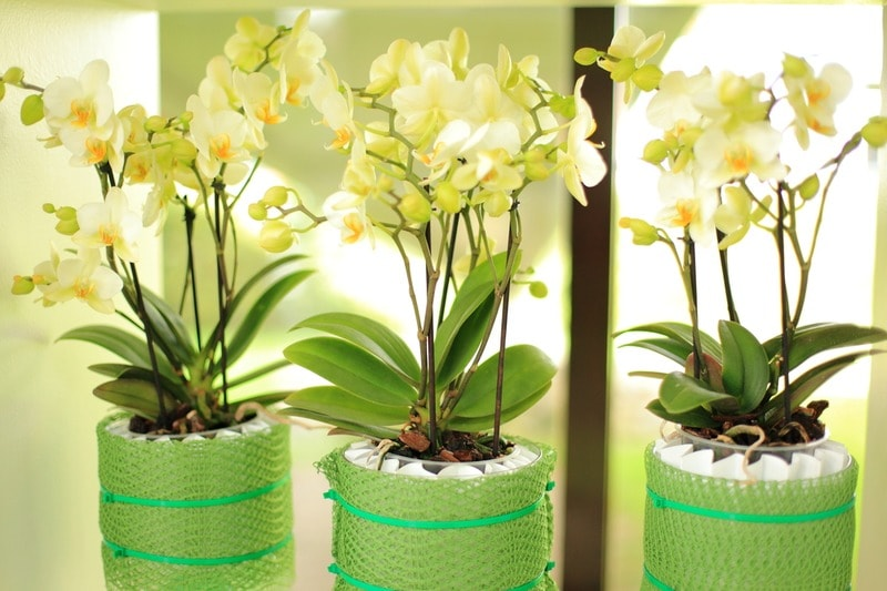How-to-revive-an-orchid-back-to-life-6