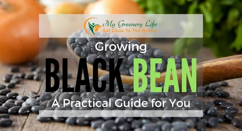 growing-black-beans-1
