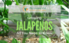 growing-jalapenos-1