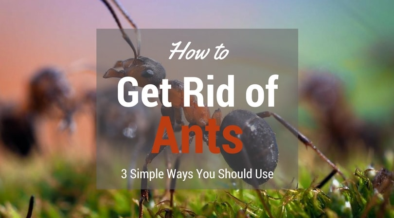 How To Get Rid Of Ants 3 Simple Ways You Should Use