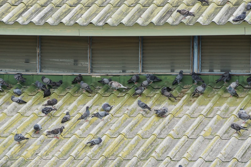 How-to-get-rid-of-pigeons-3