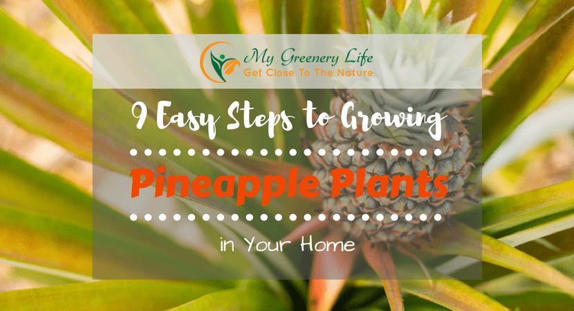 growing-pineapple-plants-1