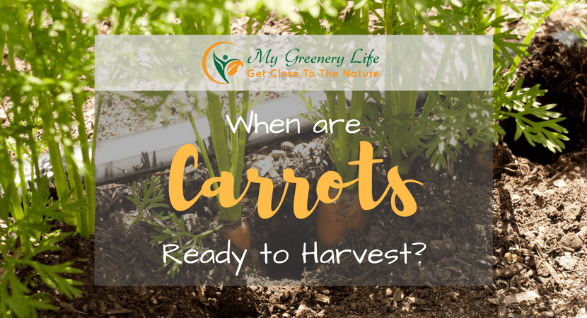 When-are-Carrots-Ready-to-Harvest-1